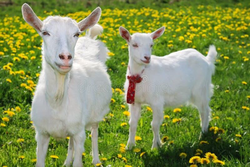 Zij-geit en het goatling royalty-vrije stock foto's