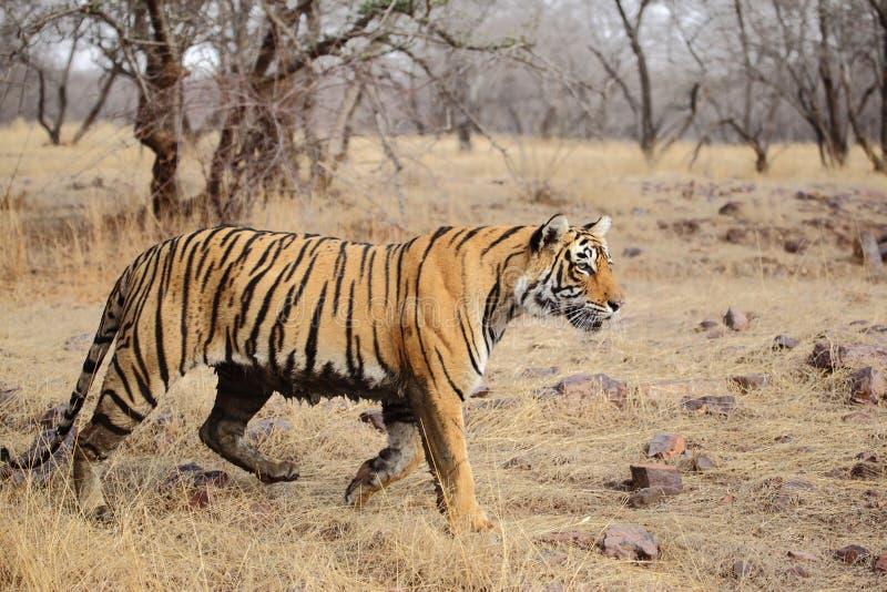 Zij profiel van een vrouwelijke tijgerin stock fotografie