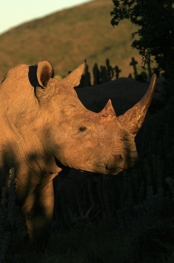 Zij profiel van een witte rinoceros royalty-vrije stock foto