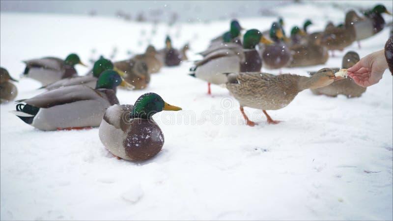 Zij voeden de eenden in de winter in het park stock afbeelding