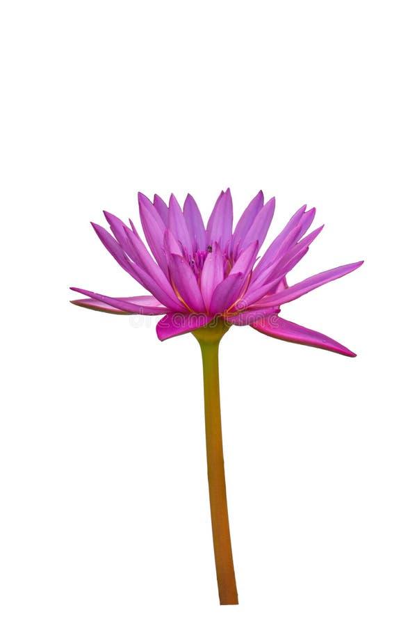 Zijaanzicht purple lotus geïsoleerd op witte achtergrond stock afbeelding