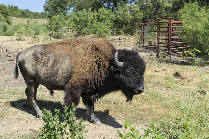 Zijaanzicht van Amerikaanse Buffels of Bizon op Landbouwbedrijfweiland stock fotografie