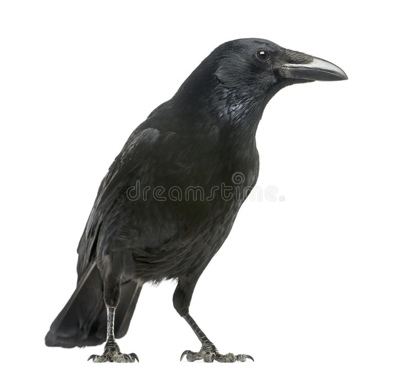 Zijaanzicht van Carrion Crow, Corvus-geïsoleerde corone, royalty-vrije stock afbeelding