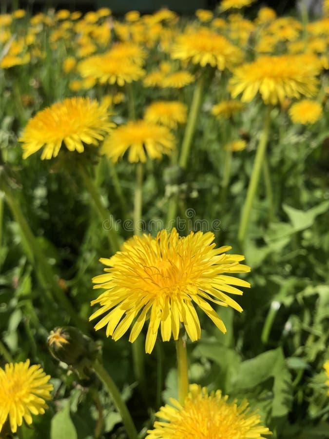 Zijaanzicht van de gele bloemen van Gemeenschappelijke Paardebloem - Taraxacum officinale stock afbeelding