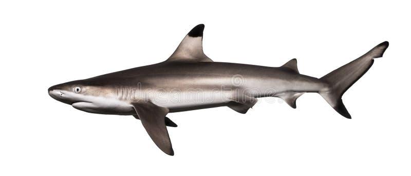 Zijaanzicht van een Blacktip-ertsaderhaai, Carcharhinus-melanopterus stock afbeelding