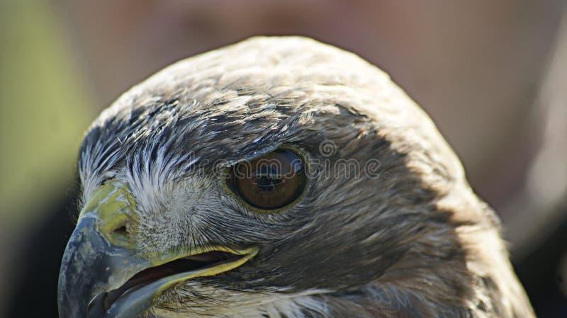 Zijaanzicht van een eagelsgezicht met een spruit van zijn oog stock fotografie