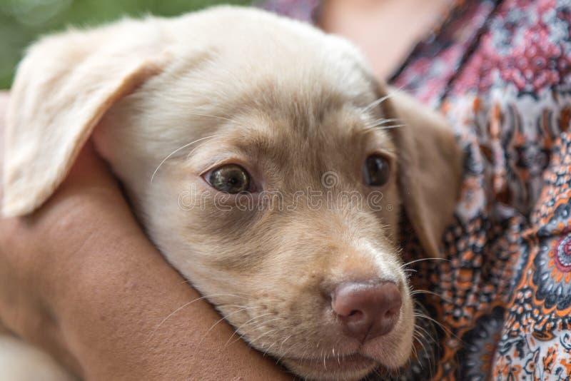 Zijaanzicht van een Glas Eyed Labrador stock afbeelding