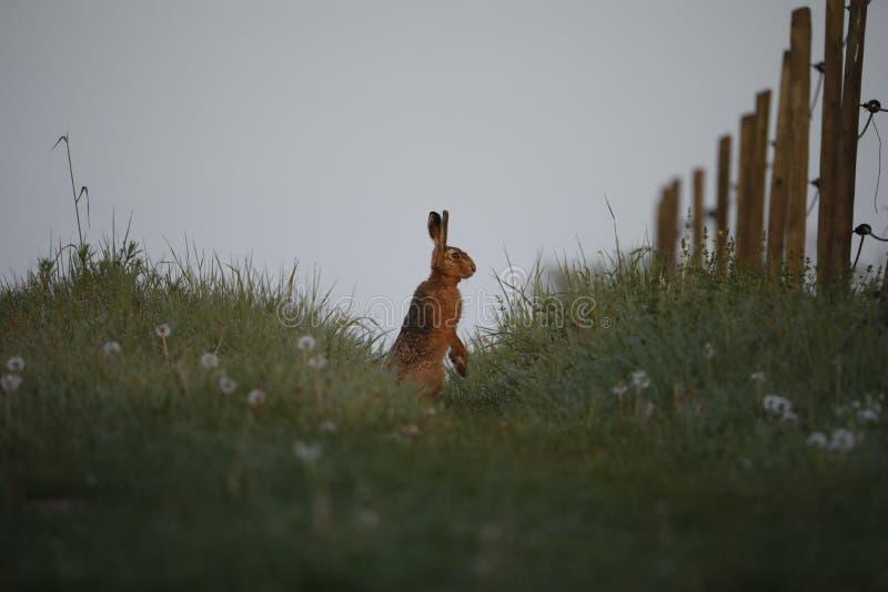 Zijaanzicht van een wilde Europese Haas stock fotografie