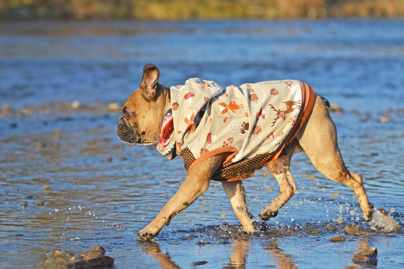 Zijaanzicht van fawn Franse Buldog die door rivier lopen die een hondlaag op een koele de herfstdag dragen stock foto's
