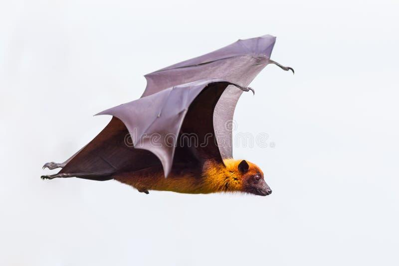 Zijaanzicht van het vliegen mannelijke Lyle vleerhond royalty-vrije stock afbeeldingen
