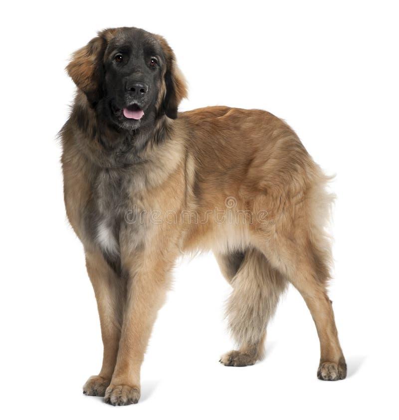 Zijaanzicht van hond Leonberger, status en het hijgen royalty-vrije stock foto's
