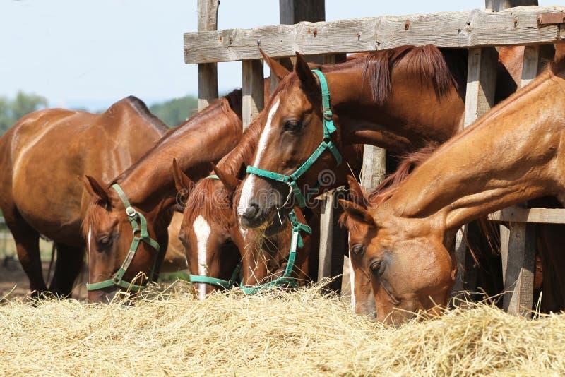 Zijaanzicht van jonge kastanjepaarden wordt geschoten die vers hooi eten dat stock foto