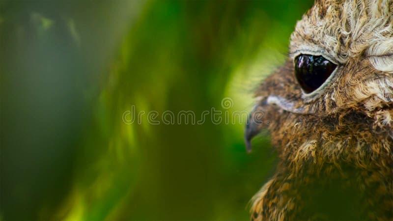 Zijaanzicht van Oostelijke kreet-Uil stock afbeeldingen
