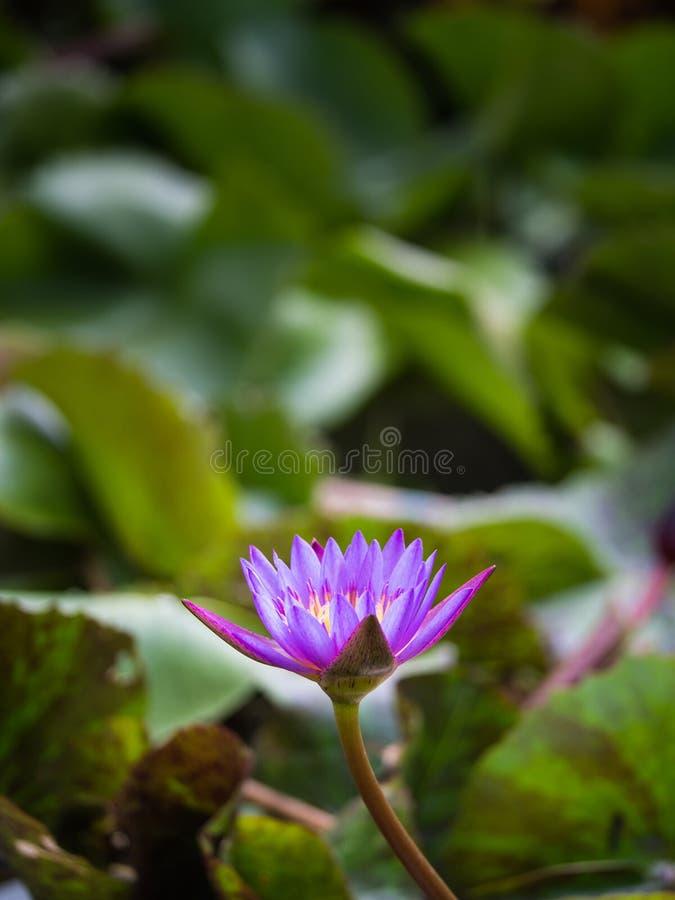 Zijaanzicht van Purper Lotus in de Vijver stock foto