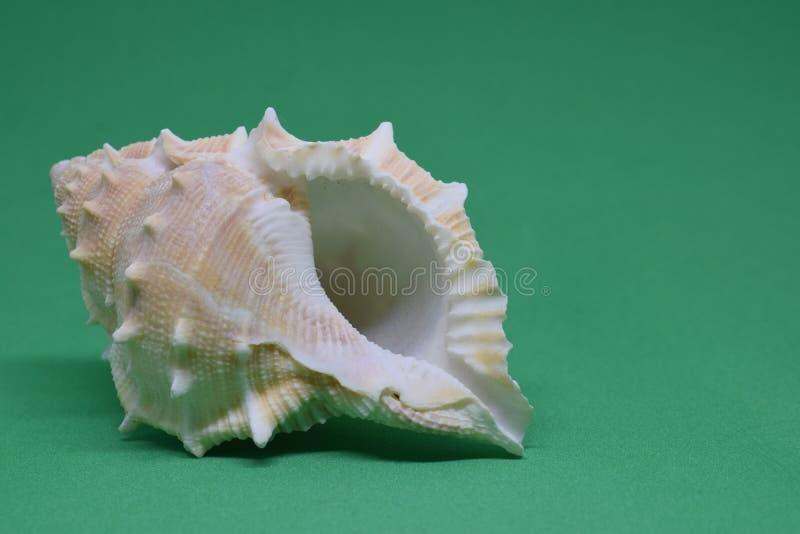 Zijaanzicht van Triton small seashell conch op groene achtergrond royalty-vrije stock fotografie