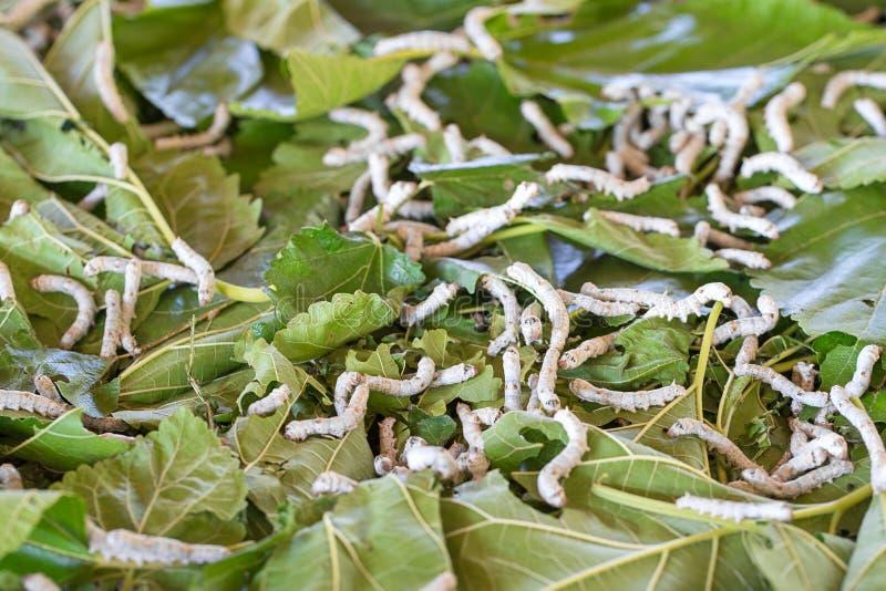 Zijderups die moerbeiboom groen blad eet royalty-vrije stock afbeeldingen