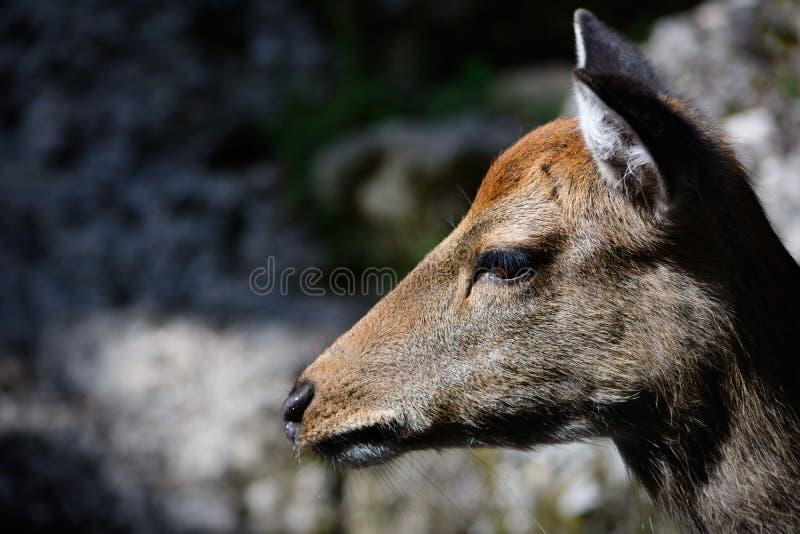 Zijportret van een hert royalty-vrije stock foto's