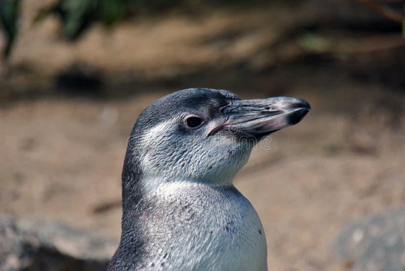 Zijportret van een pinguïn royalty-vrije stock afbeeldingen