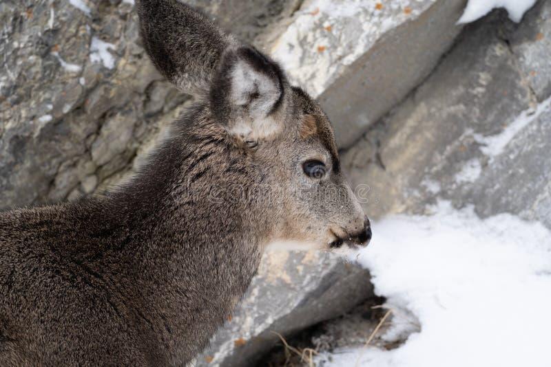 Zijportretmening van een hert van de damhindemuilezel in de sneeuw royalty-vrije stock foto's