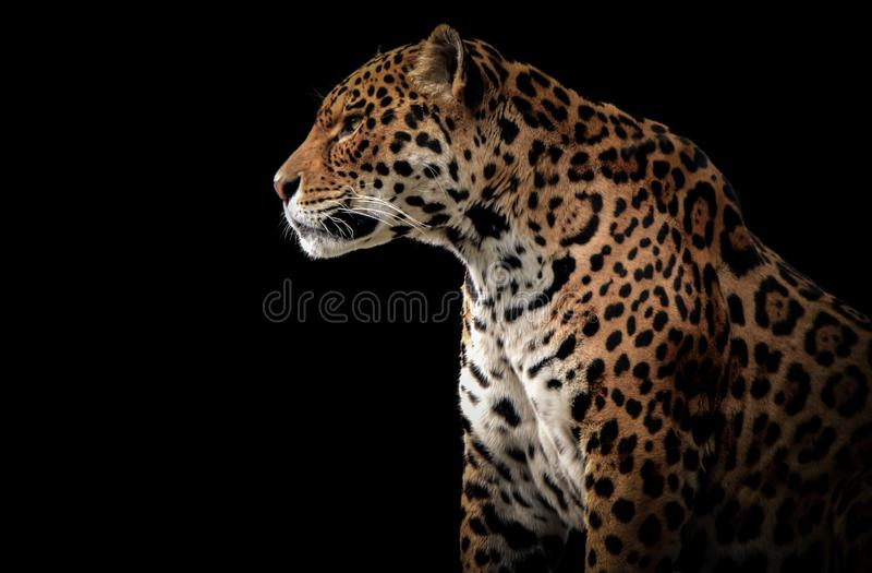Zijprofiel van een jaguar stock foto's