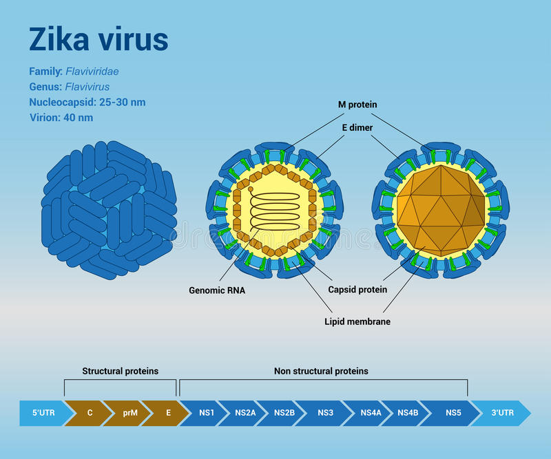 Zika virus structure. The structure of Zika virus virion particle and genome, infographic template royalty free illustration