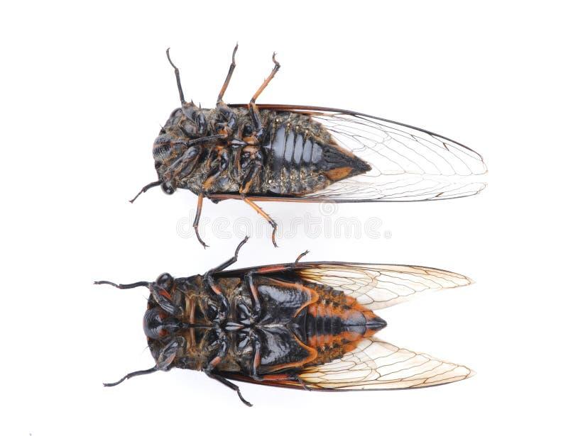 Zikade stockbild
