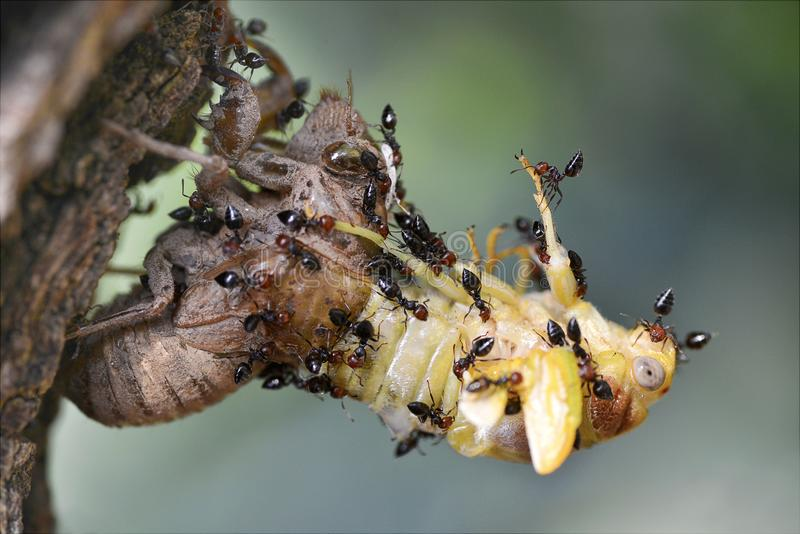 Zikade in Angriff genommen durch Ameisen lizenzfreies stockfoto