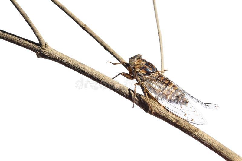 Zikade auf der Niederlassung lizenzfreie stockbilder