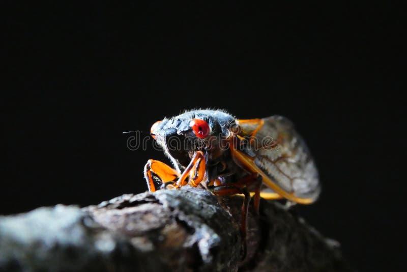 Zikade auf Niederlassung stockbilder