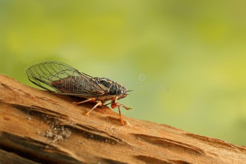 Zikade Euryphara, verschiebend unten auf einem Zweig mit einem grünen Hintergrund lizenzfreie stockfotos