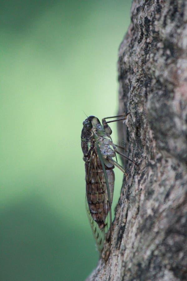Zikade hält an den Baum lizenzfreie stockfotografie