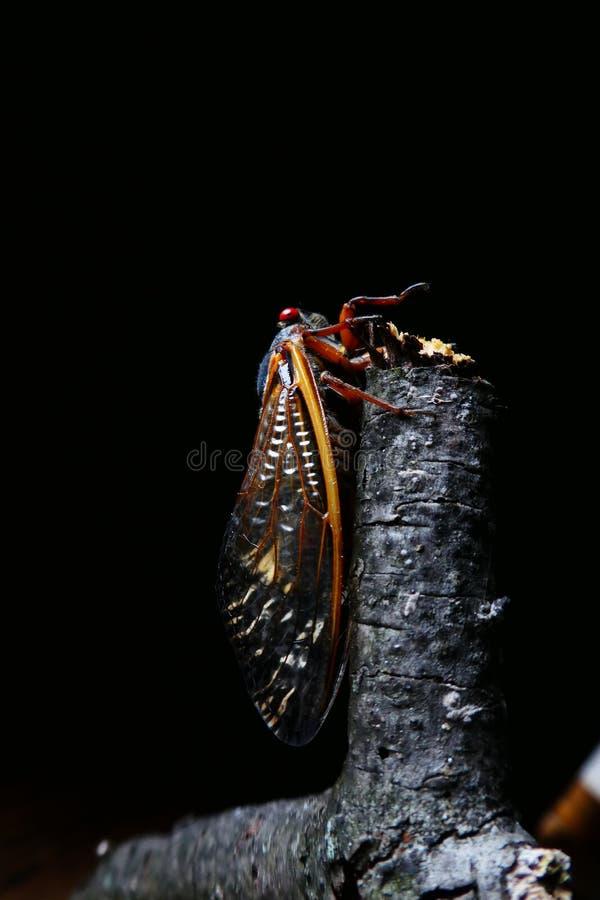 Zikade mit schwarzem Hintergrund lizenzfreies stockfoto