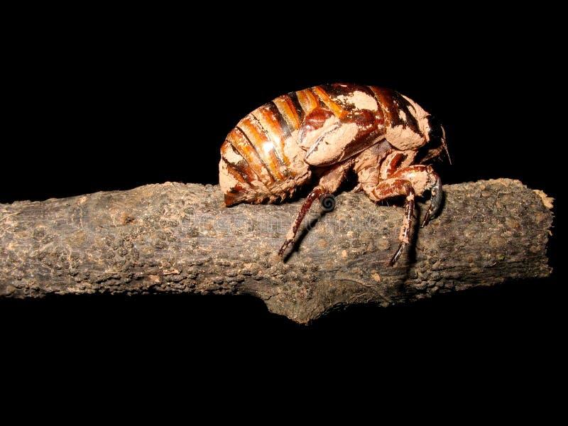 Zikadelarve stockfotografie