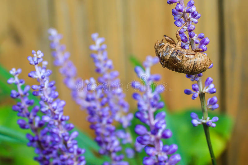Zikaden-Insekt leerer Exoskeleton haftet purpurroter Bluetenspitze an lizenzfreie stockfotografie
