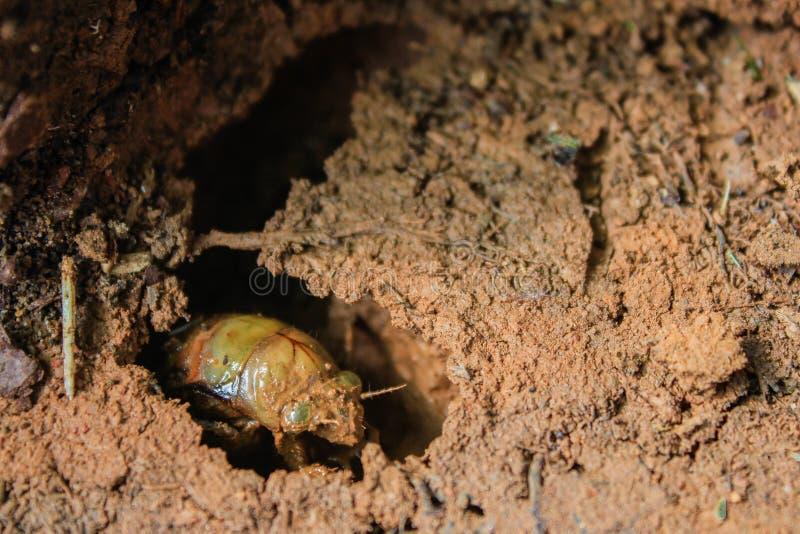 Zikaden-Insekten-Nymphe taucht von der Winter-Bürgschaft auf stockfotos