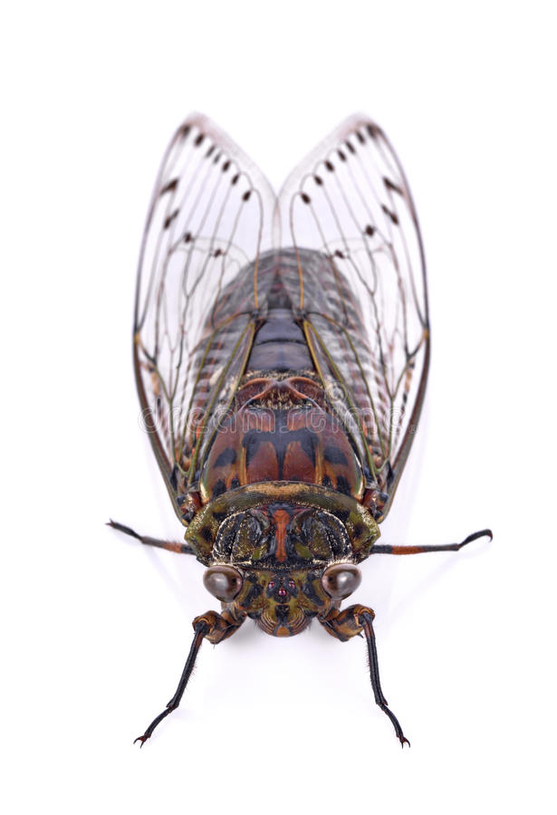 Zikadeninsekt lokalisiert auf weißem Hintergrund stockfotografie