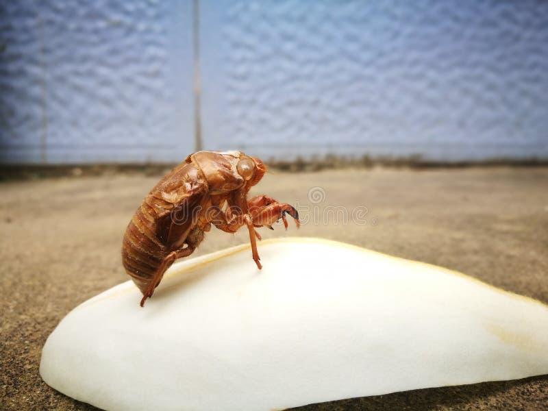Zikadenslough, das auf dem Magnolienpedal steht stockfoto