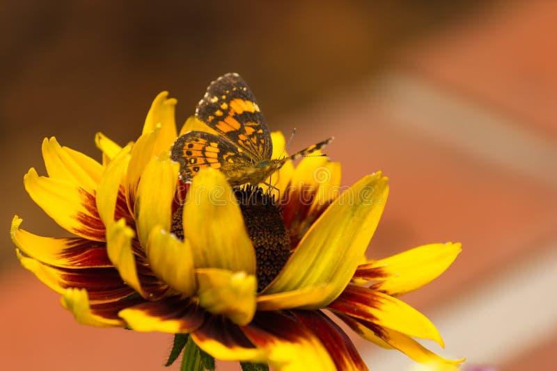 Zilverachtige Checkerspot-Vlinder stock afbeeldingen