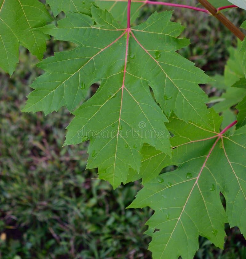 Zilveren Esdoorn (Acer-saccharinum) Bladeren na een de Zomerregen stock fotografie