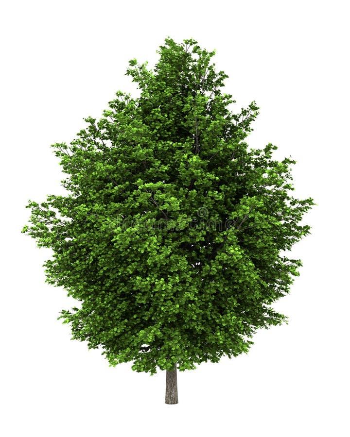 Zilveren esdoornboom die op wit wordt geïsoleerdo stock foto