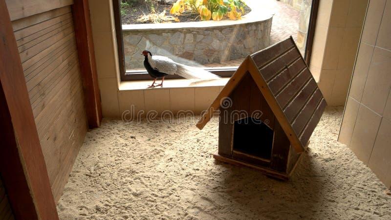 Zilveren fazant die in kippenhuis lopen stock fotografie