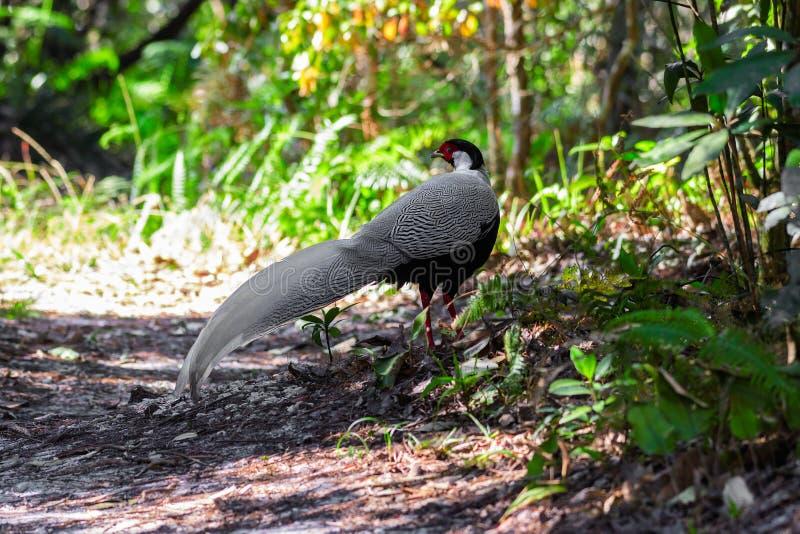 Zilveren fazant of Lophura-nycthemeramannetje stock foto's