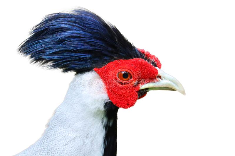 Zilveren ge?soleerde fazant royalty-vrije illustratie