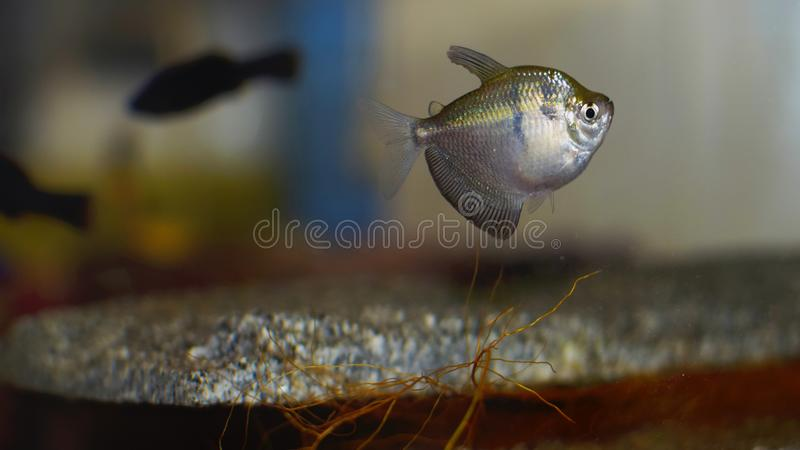 Zilveren hoekvissen in aquarium stock foto