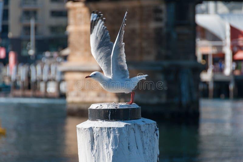 Zilveren meeuw, zeemeeuw die met haar die vleugels opstijgen voor een vlucht worden uitgebreid royalty-vrije stock foto