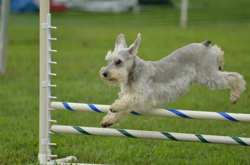 Zilveren MiniatuurSchnauzer bij een Proef van de Behendigheid van de Hond stock foto's
