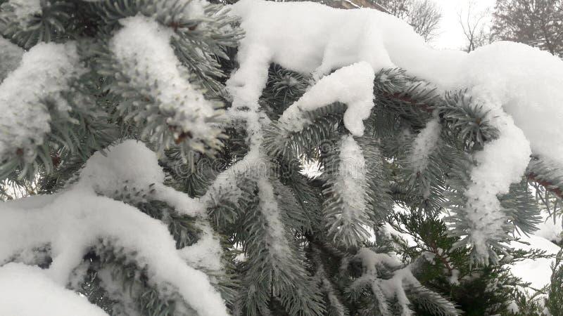 Zilveren Pijnboom in de Winter royalty-vrije stock afbeelding
