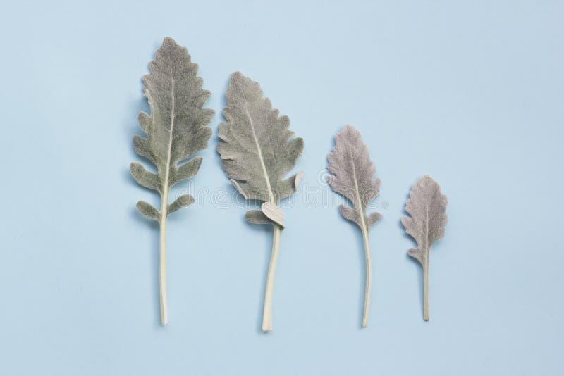 Zilveren stoffige molenaarbladeren op pastelkleur blauwe achtergrond stock foto's