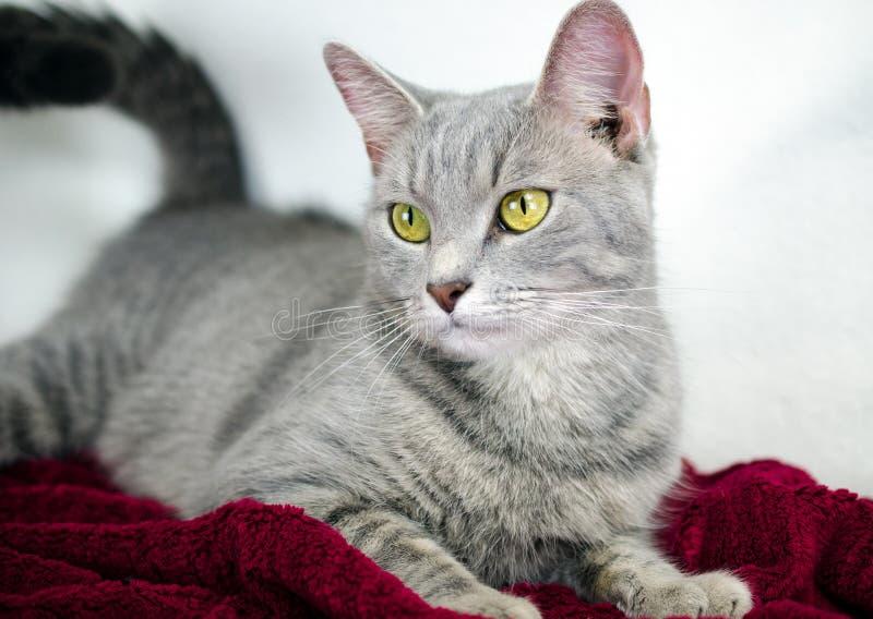 Zilveren Tabby Cat op rode algemene, witte achtergrond stock foto's