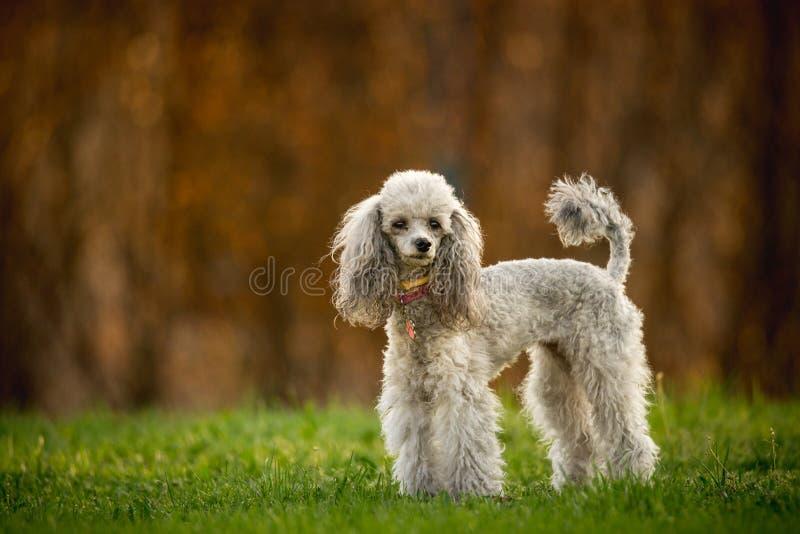 Zilveren Toy Poodle op het gras, bruine achtergrond stock foto